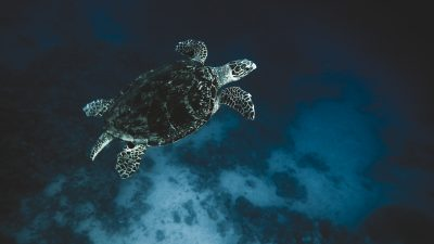 turtle-abu-helal