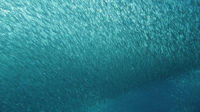 gabr-el-bint-fish-shoal